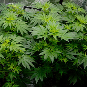 45 days flowering marijuana plants 2