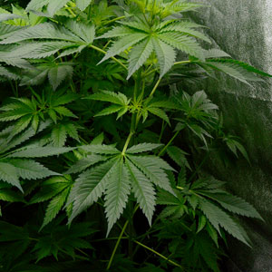45 days flowering marijuana plants 3