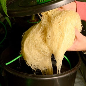 52 days bubble buckets roots