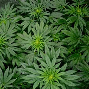 52 days flowering marijuana 1