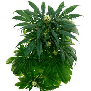 61 days white widow plant 1