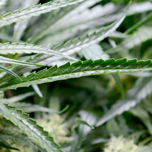 63 day bubble buckets leaves marijuana curled inwards