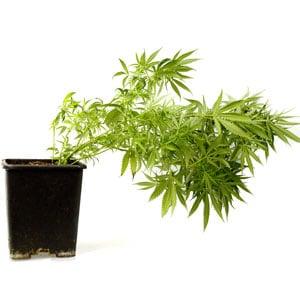 64 days marijuana plant 1