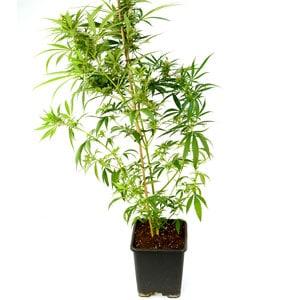 64 days marijuana plant 2