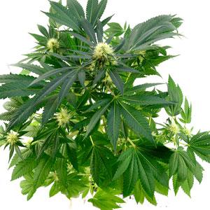 66 days white widow plant top