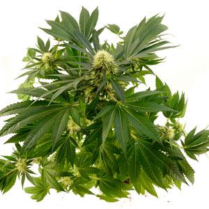 71 days white widow plant top