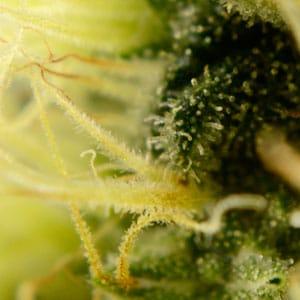 73 days white widow bud growth trichomes 4