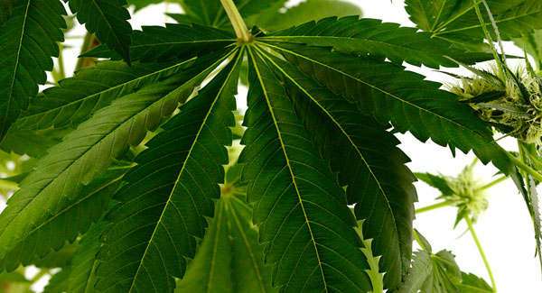 75 days white widow leaf