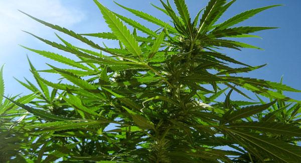 Marijuana Autoflower Seed