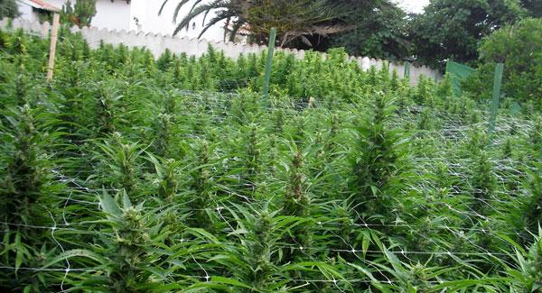 Marijuana in the Backyard