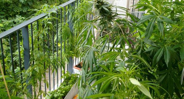 Marijuana in Balcony