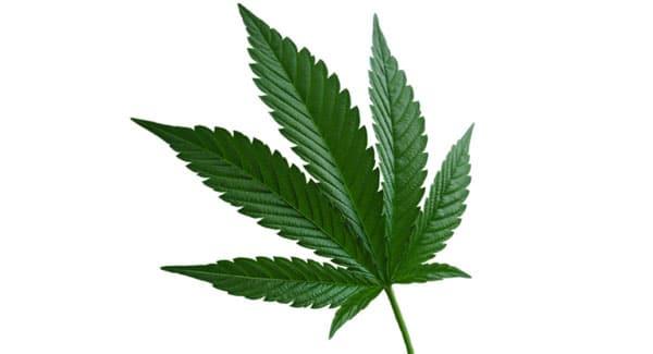 Cannabis Indica Leaf
