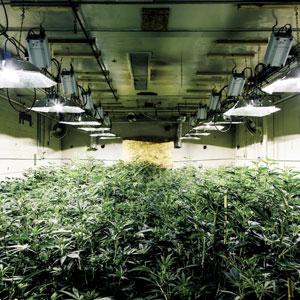Marijuana grow