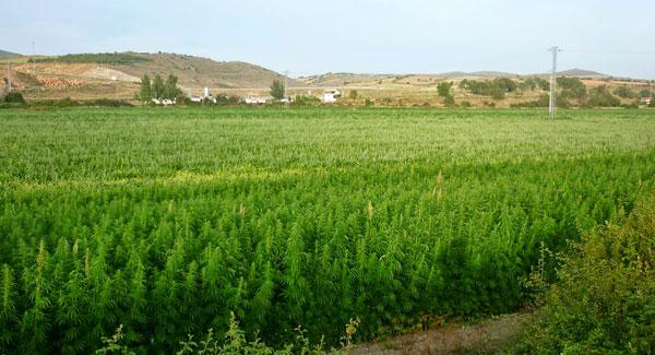 Marijuana grow in open field