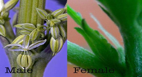 Male and Female marijuana seeds