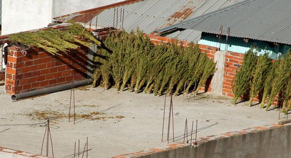 Marijuana in roof of an Empty Building