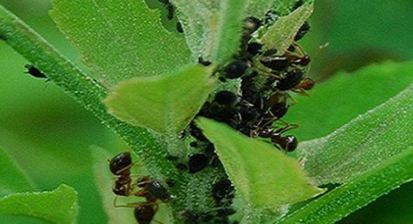 Ants on Marijuana Plants