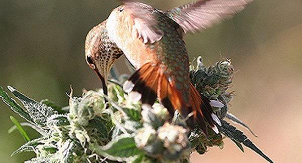 Birds on Marijuana Plants