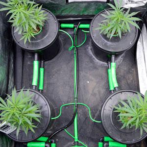 4 bubble buckets with marijuana plants