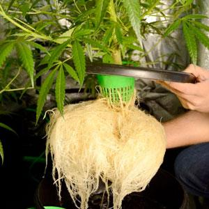 Bubble buckets 3 week roots