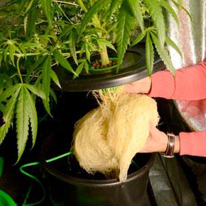 Bubble buckets 4 week roots