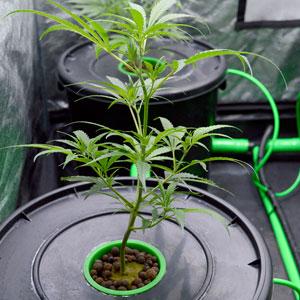 Marijuana single bubble buckets