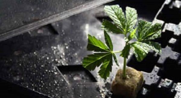 Cannabis Clones wont Root