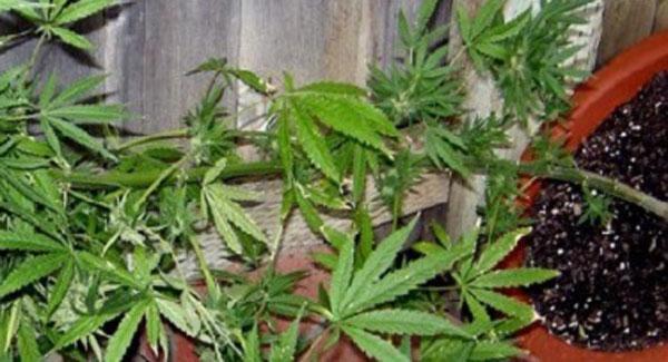 Cannabis Plant Knocked down