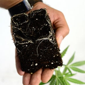Check for healthy roots