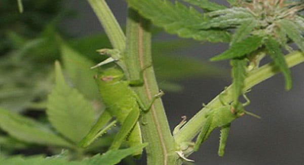 Crickets and Grasshoppers on Marijuana Plants