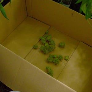 Cutting marijuana step 10