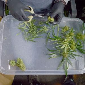 Cutting marijuana step 8