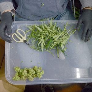 Cutting marijuana step 9
