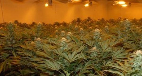 Dark Cycle Interruptions Marijuana Plants