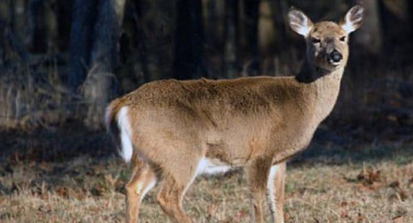 Deer on Marijuana Plants