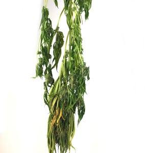 8 days drying marijuana plant