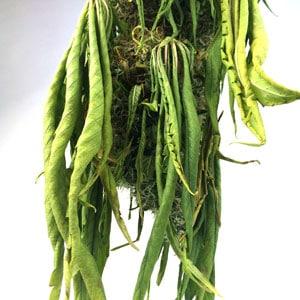 8 days drying marijuana plant close up