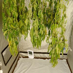 5 days drying marijuana