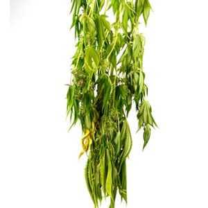 5 days drying marijuana plant