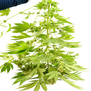 1 day drying marijuana plant focus