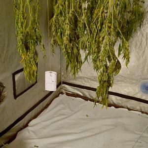 10 days drying marijuana