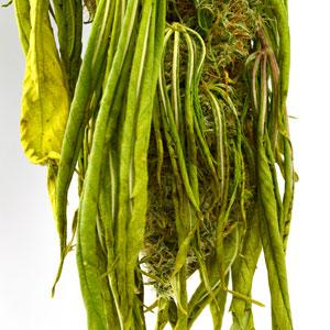 10 days drying marijuana plant close up