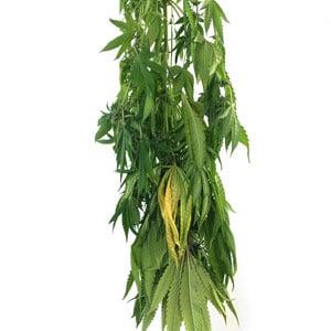 3 days drying marijuana plant
