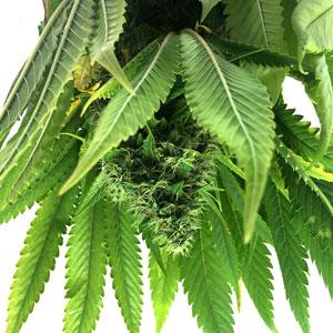 5 days drying marijuana plant close up