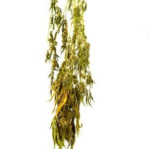 12 days drying marijuana plant
