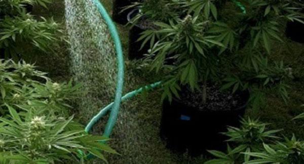 Hard or Soft Water for Marijuana Plants
