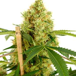 Harvest bud