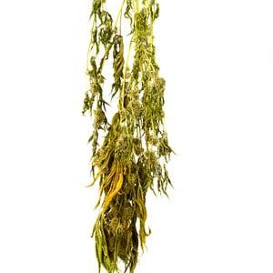 Harvesting drying marijuana plant