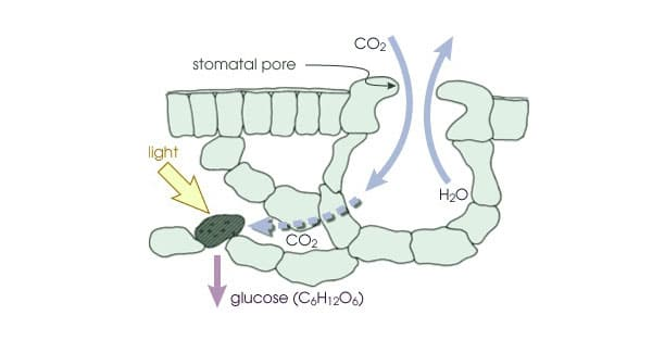 How leaves absorb CO2