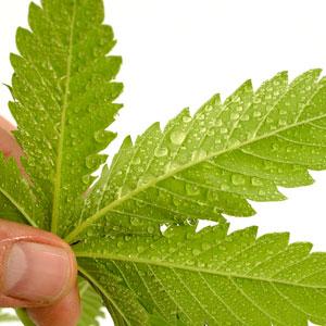 To kill the thrips on marijuana leaves